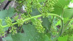 Очень важная стадия роста и налива ягод у винограда начинается сразу после цветения – когда ягоды достигнут размера мелкой горошины. В это время уже видно насколько качественно прошло опыление и можно строить виды на урожай.  В это время удаляют все лишние и неполноценные грозди. Медлить с эт
