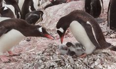 Watch and listen as these Gentoo Penguins breed, feed, and waddle among their stone pile nests in colonies around the sub-Antarctic islands. Gentoo females lay two eggs, and both parents share nest an