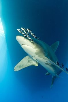The culling of 1 million oceanic whitetip sharks (Carcharhinus longimanus) every year has resulted in its Pacific population crashing by 93% between 1995 and 2010