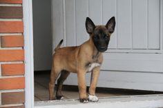 Belgian Shepherd, German Shepherd Dogs, King Shepherd, Belgian Malinois Puppies, Belgium Malinois, Reptile Cage, Reptile Enclosure, Service Dogs, Exotic Pets