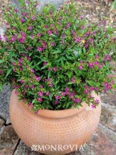 Mexican Heather (Cuphea hyssopifolia) - Profuse purple flowers on a versatile, compact plant. Tidy plant with fine textured, glossy, bright green leaves. Re-blooms continuously well into fall. Good for edging and seasonal color in beds and borders. Popular container plant for pots and baskets.