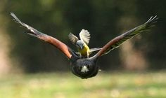 See the moment a Western King Bird hitches a ride on the back of a ...