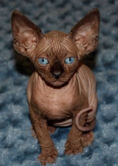 Sphinx with turquoise eyes. If I ever had a cat it would be one of these.