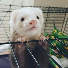 Adorable! Ferrets Care, Cute Ferrets, Pet Ferret, Baby Animals, Animals And Pets, Funny Animals, Cute Animals, Guinea Pigs, Exotic Pets