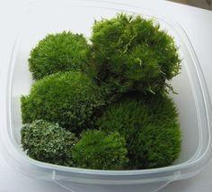 Mosses for Terrariums
