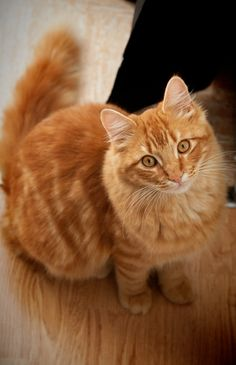 / chat roux by Cindy Serva Yellow Cat, Orange Cats, Beautiful Cats, Beautiful Babies, Ginger Cats, Warrior Cats, Pretty Baby, Cat Gif, Cool Cats