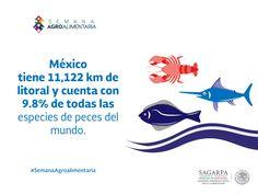 México tiene 11,122 km de litoral y cuenta con 9.8% de todas las especies de peces del mundo. SAGARPA SAGARPAMX #SemanaAgroalimentaria