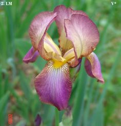 Joy | Historic Iris Preservation Society