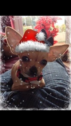 Christmas chihuahua. This looks like it is Photoshopped. but still a precious Chihuahua.