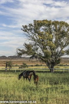 Gelykfontein Farm near Gariep, with its thoroughbred horses, Nguni cattle and indigenous veld goats, boasts six beautiful places to stay on the farmstead. Thoroughbred Horse, Cattle, Goats, Beautiful Places, Horses, Animals, Animales, Animaux, Cow