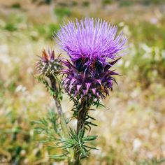 Milk Thistle is among other things the protective shield for your skin. Protects skin from sun damage and environmental pollution by increasing the strength of cell walls. Environmental Pollution, Cell Wall, Milk Thistle, Strength, Walls, Sun, Natural, Plants, Wands