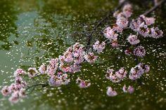 162:「満開の時期を少し過ぎた桜を堀に散った桜を背景に撮影しました。」@郡山城址公園
