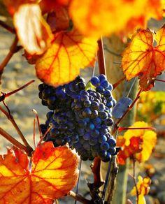 Colorful autumn #wine grapes.