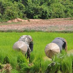 Working in a rice field in Cambodia. Image from APT.