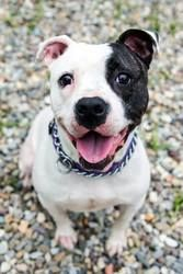 --Sunny is an adoptable Pit Bull Terrier Dog in Spring Lake, NJ. We know it's cliche, but it's oh so true - you'll never fret about the weather with Sunny around.� She will put a spring in your step, ...