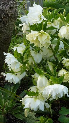 Pretty cream and white blooms~Helleborus!