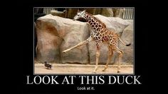 lol, this giraffe...