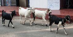 #Cabras caminando en las calles de #Mumbai. Conoce las 10 cosas que me sorprendieron de mi viaje a India en nuestro articulo en #DesarrolloPeregrino #Blog #Viajes .