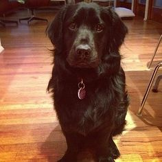 Flat-Coated Retriever + Corgi = Flat Corg | 12 Of The Best Hybrid Dogs That The World Has To Offer
