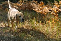 An autumn walk with my lovely #lab