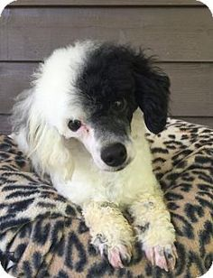 Pictures of Prince a Toy Poodle for adoption in Raytown, MO who needs a loving home.