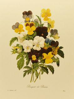 Pansies, Garden Art, Vintage Botanical Redoute Flower Print No. 97