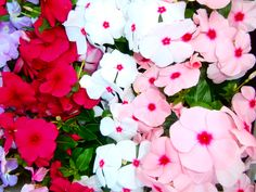 Catharanthus roseus- Vinca -Annual -tubular flowers have five flattened petal-like lobes. Do not plant too early in spring or plants may not thrive due to cold, wet soils' wait until summer. Blooms June to frost.  Full sun to part shade
