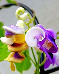 corkscrew vine, snail vine, snail creeper, or snail bean (vigna caracalla) Unusual Flowers, Unusual Plants, Rare Flowers, Exotic Plants, Amazing Flowers, Pretty Flowers, Flowers Pics, Blooming Flowers, Colorful Flowers