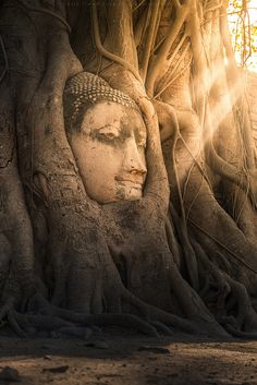 Buddha Head in Tree, Wat Mahathat, Ayutthaya, Thailand  -- oh, the resilience, grace, strength and acceptance of trees -- of course Buddha would grow there.
