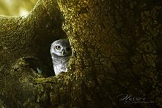 """candies-for-my-eyes: (via 500px / Photo """"Spotted-Owlet"""" by Sasi - smit)"""