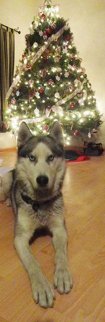 Husky for Christmas :) best present ever!