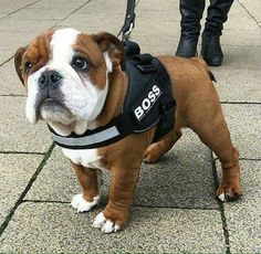 Bulldog pup...Boss Man! #bulldogpuppy