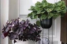 This video shows what houseplants are doing while we're away Prayer Plant, Medicinal Plants, Flourish, Houseplants, Indoor Plants, Make Me Smile, Flower Power, Roots, Waves