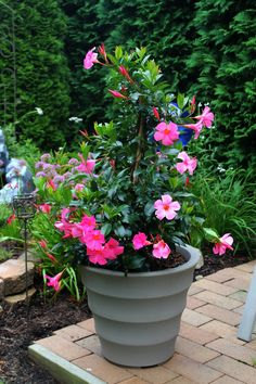 Mandivilla is part of this summers garden. A wonderful plant that vines on trellis in a pot. Comes in Red and Pink. A must for any garden.give it sun, fertilizer and water and it will be a wonderful addition to the garden .no dead heading. Home Vegetable Garden, Garden Pots, Garden Ideas, Flower Planters, Flower Pots, Flower Containers, Vine Trellis, Flowering Vines, Planting Vegetables