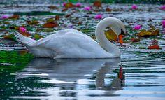 Lotus Swan