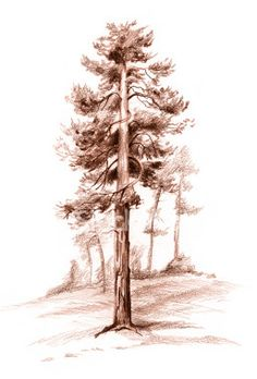 pencil drawing pine-tree - istock