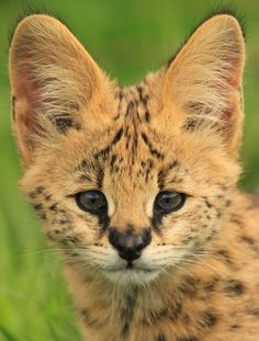 "Serval Cub, via wild-earth.tumblr.com  ...*""What big ears you have!"""