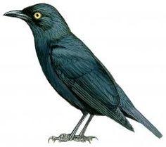 Micronesian Starling (Aplonis opaca)