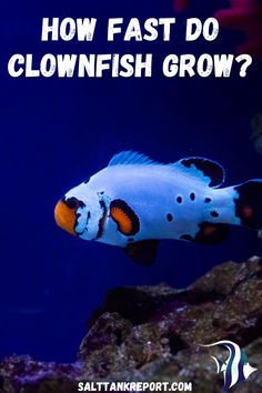 Are you keeping clownfish in your saltwater tank? Find out how fast they will grow and how big they can get! #saltwaterfish #saltwatertanks #saltwateraquariums #aquariumfish Salt Water Fish, Salt And Water, Fishing For Beginners, Nano Tank, Clownfish, Saltwater Tank, Aquarium Fish, Big, Animals