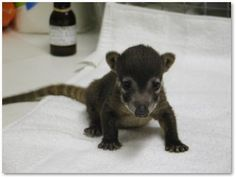 I should really stop looking up exotic pets as I now desperately want a coatimundi.