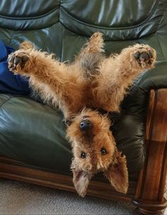 Silly Dogs, Cute Dogs And Puppies, I Love Dogs, Doggies, Irish Terrier, Airedale Terrier, Wire Fox Terrier, Dog Rules, Cute Funny Animals