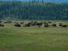 stádo bizonů - herd of bisons - Grand Teton NP - USA - 2015