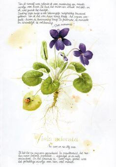 Violet (Viola Odorata) by Marjolein Bastin