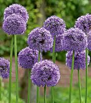 alliums - i can't wait to see them!  planted in 2011.