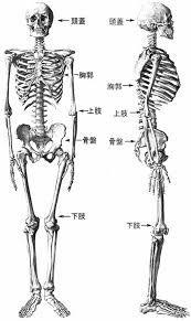 「イラスト 人体 骨格図」の画像検索結果