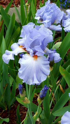 The Iris is an essential feature of every perennial flower border.
