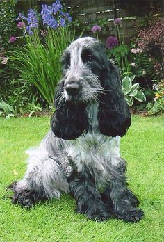 Blue roan English Cocker Spaniel