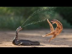 Amazing Snake Python King Cobra Big Battle In The Desert Mongoose - Amazing Attack of Animals Baby Animals, Funny Animals, Cute Animals, Angry Animals, King Kobra, King Cobra Snake, Poisonous Snakes, Big Battle, Beautiful Snakes