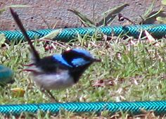 This male Fairy Wren moved in alongside my flat, and produced a pair of chicks after a few weeks. The blue is so striking, photos do not do it justice.