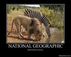 funny animals - lion and zebra - Funomenia Zebras, Giraffes, Elephants, Beautiful Creatures, Animals Beautiful, Beautiful Cats, Simply Beautiful, Funny Animals, Cute Animals
